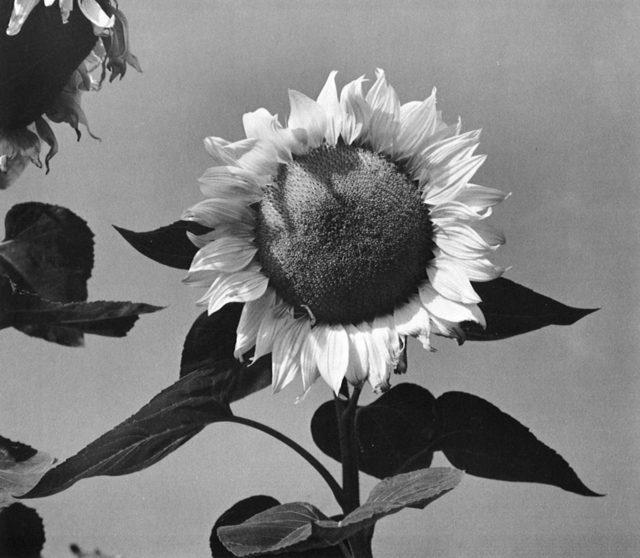 , 'Sunflower Face, Boston, MA,' 1965, Obscura Gallery