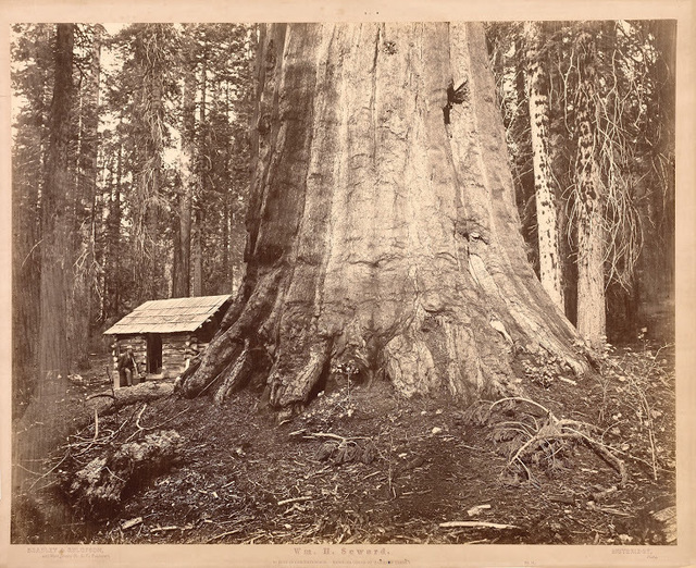 , 'Wm. H Seward, 85 Feet in Circumference. Mariposa Grove of Mammoth Trees, No. 51,' 1872, Legion of Honor