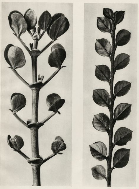 , 'Plate 113 - a.Zygophyllum fabago, Common Cotoneaster b. Cotoneaster integer ,' , photo-eye Gallery