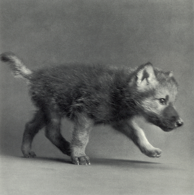 "Michael O'Neill, 'Timber Wolf, ""Coda""', 1991, Etherton Gallery"