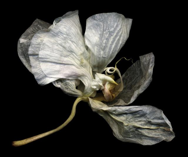 , 'Phalaenopsis #6,' , Fabrik Projects Gallery