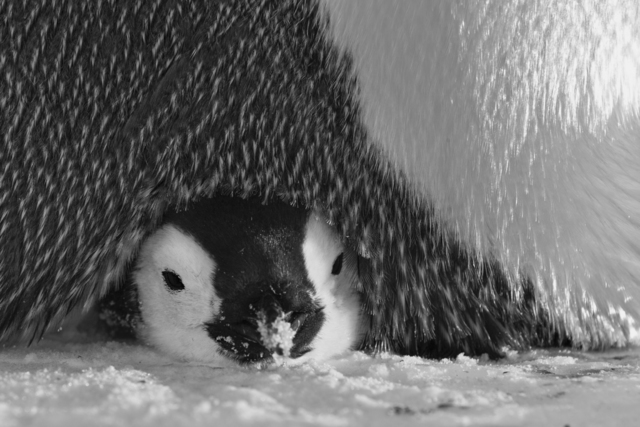 , 'Under a Mother's Care ,' , Paul Nicklen Gallery