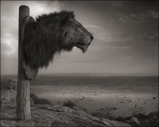 , 'Trophy of Lion, Chyulu Hills, 2012,' 2012, photo-eye Gallery