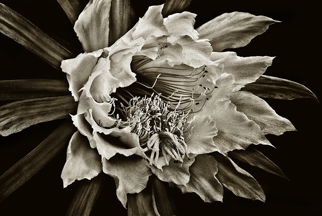 , 'Cactus Flower #3,' , Soho Photo Gallery
