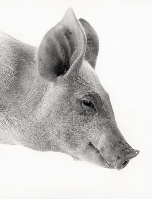 , 'Hog,' , Galerie Peter Sillem