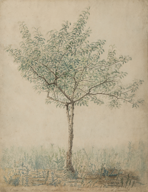 A. Grinevato, 'A Pear Tree Drawn from Nature in Columbia, South Carolina', 1865, Drawing, Collage or other Work on Paper, Watercolour and ink, Day & Faber
