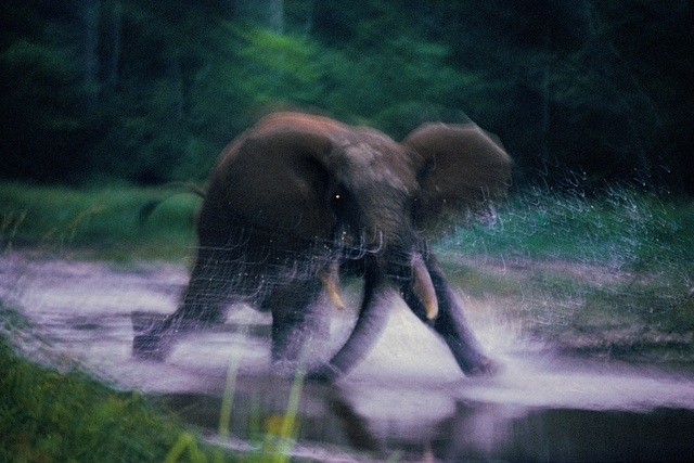 , 'Forest Elephant, Central African Republic,' 1993, Philadelphia Museum of Art