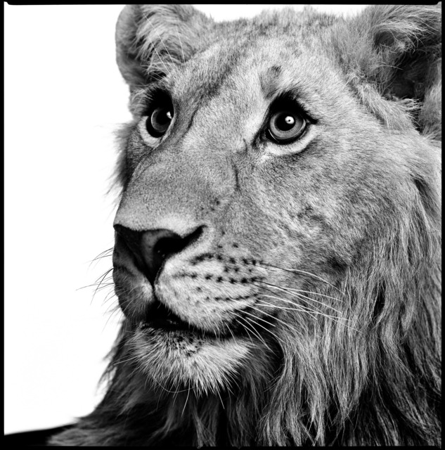 Patrick Demarchelier, 'Lion', 1997, Staley-Wise Gallery