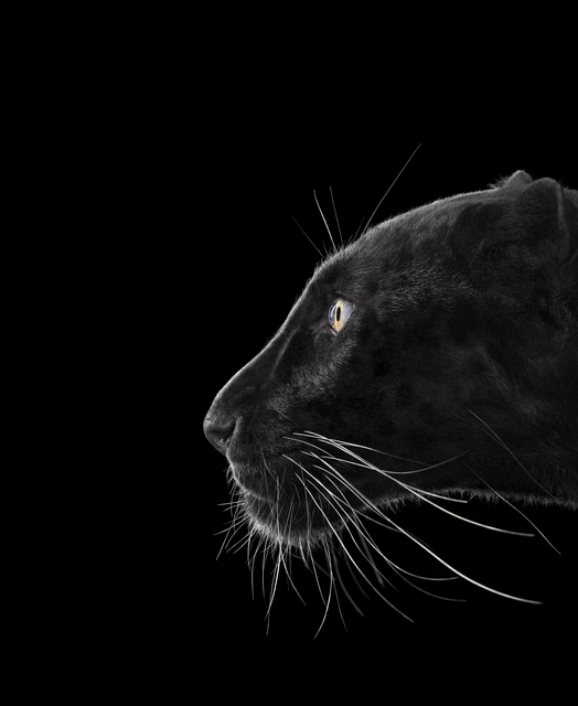 , 'Black Leopard #2, Monterey, CA,' 2014, photo-eye Gallery