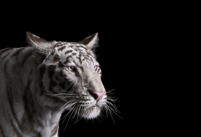 Brad Wilson, 'White Tiger #1, Los Angeles, CA ', 2011, photo-eye Gallery