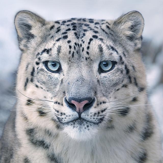 , 'Snow Leopard,' 2017, Osborne Samuel