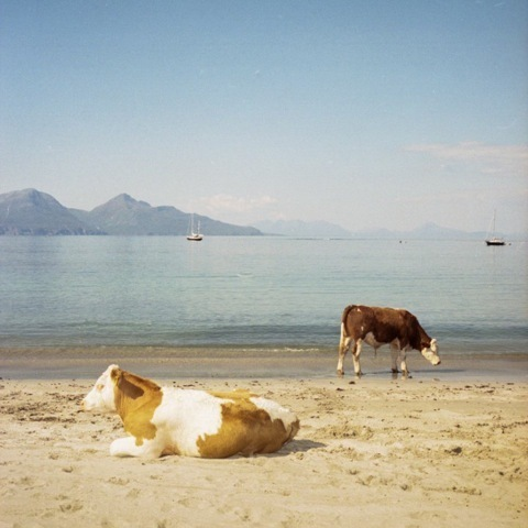 Muir Vidler, 'Cows, Beach, Isle of Muck', 2014, Mindy Solomon Gallery