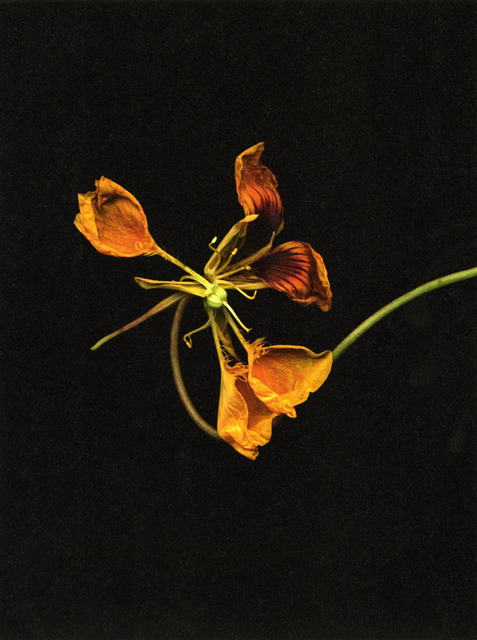 ", '""o.T. 2010 (Tropaeolum majus)"", from the series 'Flowers',' 2009, Kicken Berlin"