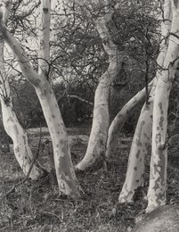 Sycamore Trees and Datura (2 works)