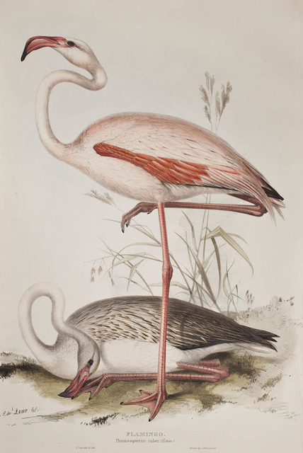, '[A set of Four Wading Birds] Flamingo; Spoonbill; Common Heron; Purple Heron.,' 1837, Shapero Rare Books Limited