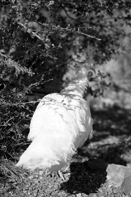 , 'Janelle 's white peacock,' 2014, Tiziana Di Caro