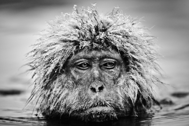 David Yarrow, 'Grumpy Monkey', ca. 2013, Photography, Archival Pigment Print, Samuel Lynne Galleries