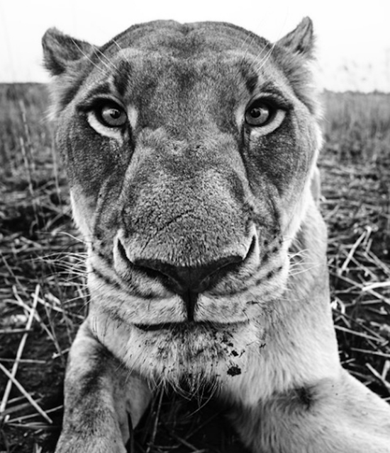 David Yarrow, 'The Hunger Games', Photography, Archival Pigment Print, Hilton Asmus
