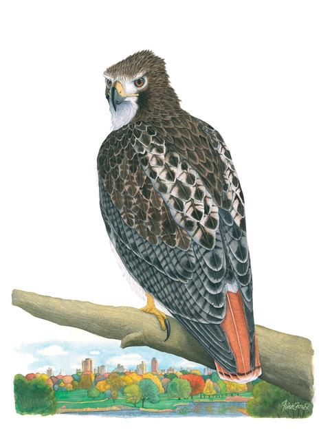 Flick Ford, 'Central Park Red-tailed Hawk', 2018, Quidley & Company