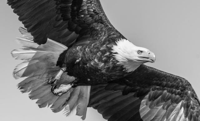 David Yarrow, 'American Eagle', 2016, Isabella Garrucho Fine Art