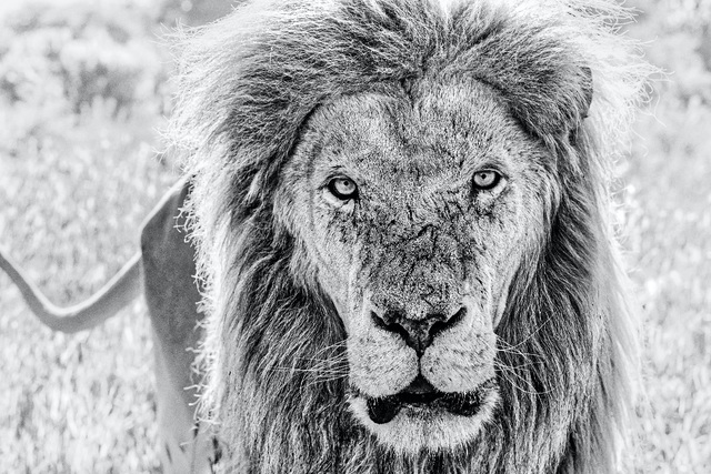 David Yarrow, 'Scarface', 2020, Photography, Archival Pigment Print, Hilton Asmus