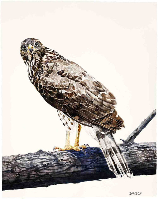 , 'Young Cooper's Hawk on Guard,' 2018, Wally Workman Gallery