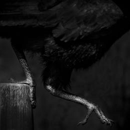 Northern Ground Hornbill
