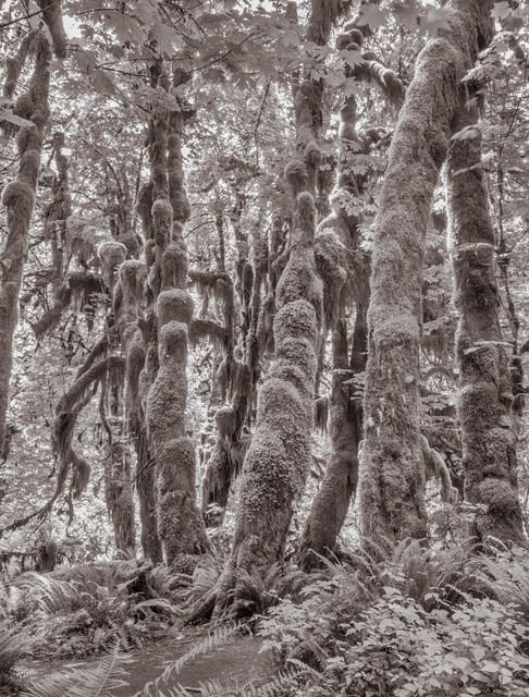 Lee Backer, 'Big-Leaf Maples, Hoh Rainforest, Washington', Soho Photo Gallery