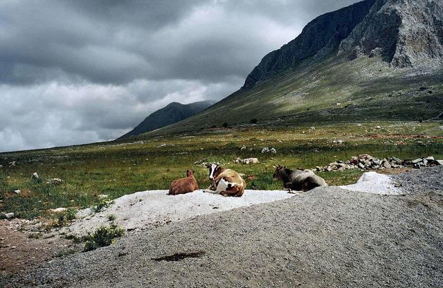 , 'Mani (Cows),' 2000, Dio Horia