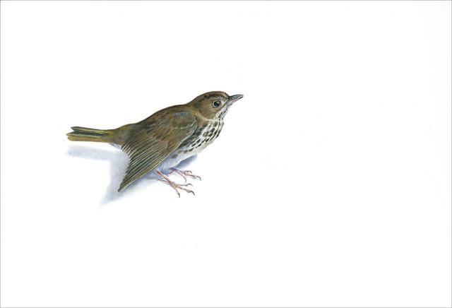 Kevin King, 'Ovenbird Warbler', 2014, Jason McCoy Gallery