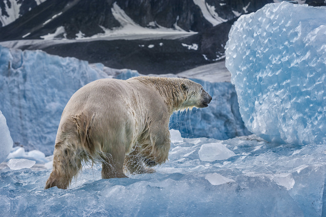 , 'On Ancient Ice,' , Paul Nicklen Gallery