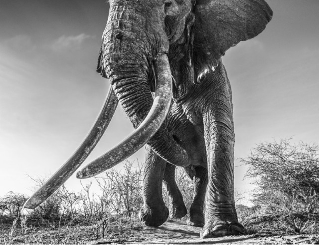 David Yarrow, 'Lugard', 2017, Photography, Archival Pigment Print, Maddox Gallery