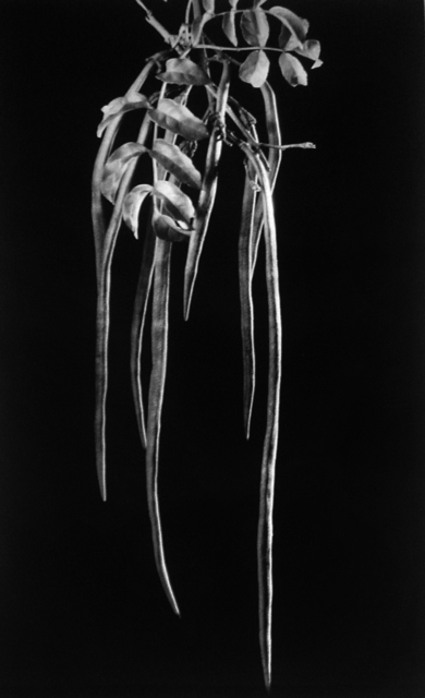 , 'Podranea ricasoliana, fruto, Dama del monte,' ca. 1934, Vasari