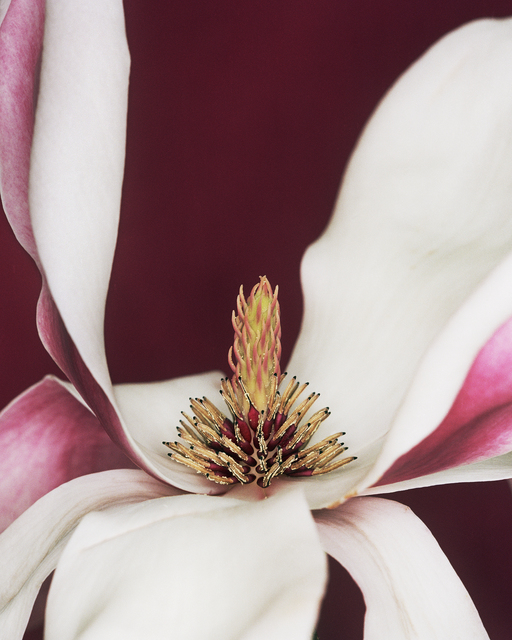 , 'Magnolia x soulangiana,' 2003, Willas Contemporary