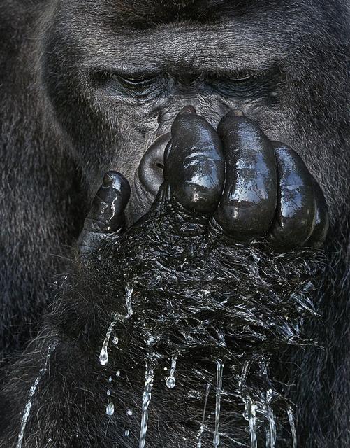 , 'Western Lowland Gorilla Drinking,' , Osborne Samuel