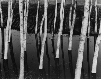 Untitled (Trees in water)