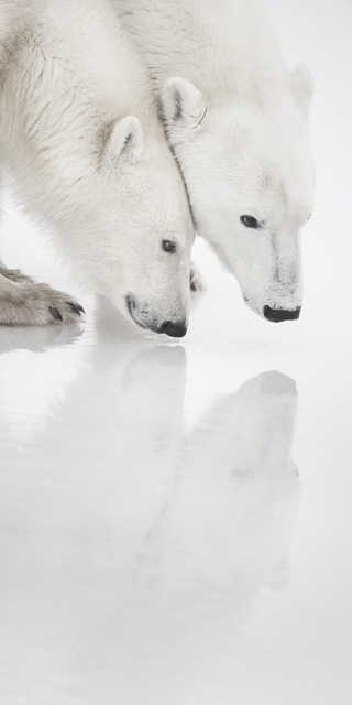 , 'Deux Ours Polaires et Leur Reflet Vertical (Two Polar Bears and Their Reflection on the Ice),' , Paul Nicklen Gallery