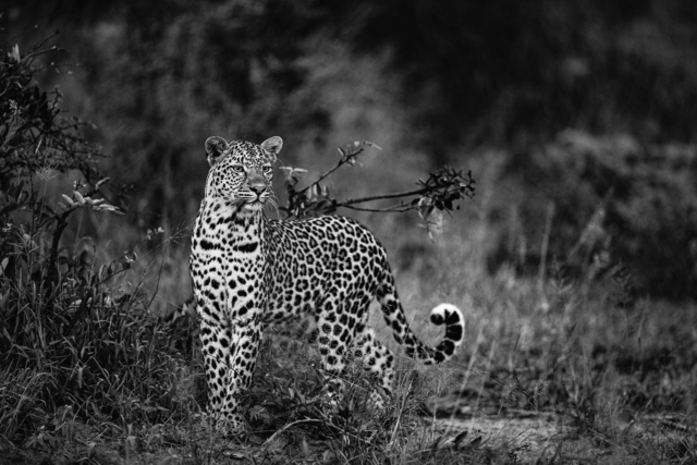 , 'Leopard, Three River Queen, South Africa,' 2019, Suite 59 Gallery