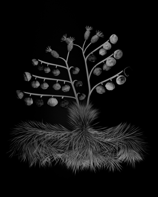, 'Voynich Botanical Studies, Specimen 34v Zima,' 2016, Koenig & Clinton