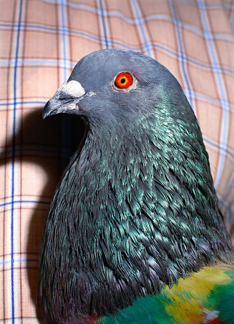 , 'Untitled (Pigeon),' 2011, TJ Boulting