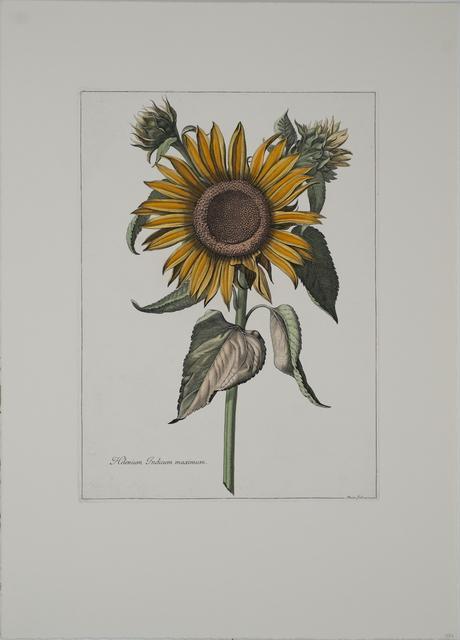 , 'Helenium Indicum Maximum,' , ArtWise