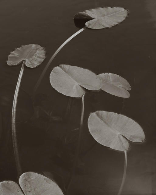 Koichiro Kurita, 'Floating Leaves, Boundary Water, MN', 1998, Scott Nichols Gallery