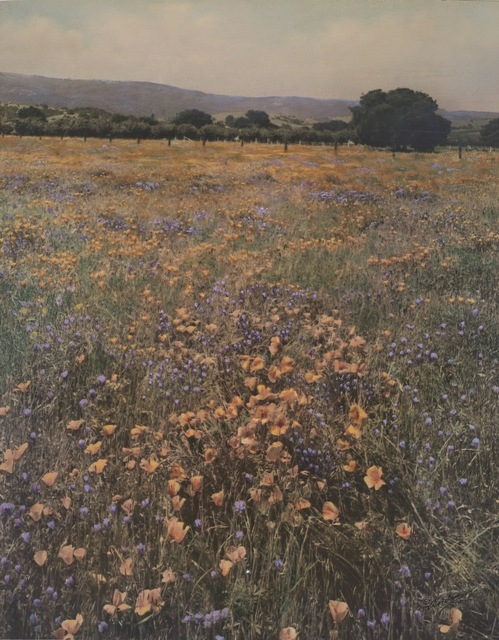 , 'Poppies and Lupine,' 1915, de Young Museum