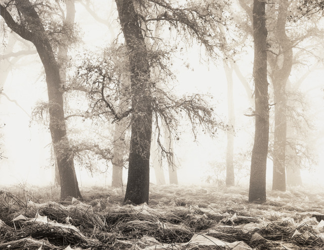 , 'Oaks in Webs,' 2017, The Ansel Adams Gallery