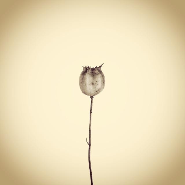 , 'Nigella Seed Pod,' 2012, Panopticon Gallery