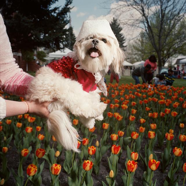 , 'Dog in Bonnet, Tulip Festival, Orange City, Iowa,' 2014, Circuit Gallery