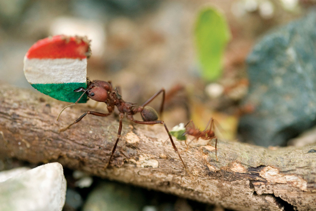 Donna Conlon, 'Coexistence (ant with Italian flag)', 2008, Diablo Rosso