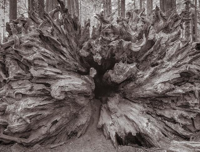 , 'Fallen Redwood, Humboldt, California,' , Soho Photo Gallery