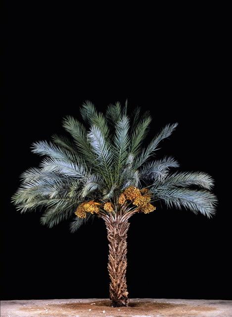 Tal Shochat, 'Date Pulm #3', 2011, Rosenfeld Gallery