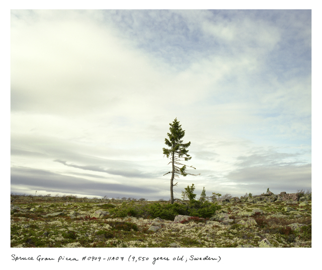 Rachel Sussman, 'Spruce Gran Picea #0909-11A07 (9,550 years old, Dalarna, Sweden)', 2009, Museum of Contemporary Photography (MoCP)
